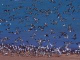 Eastern Curlew (Numenius Madagascariens) at Roebuck Bay Near Broome  Australia