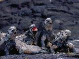 Marine Iguanas (Amblyrhynchus Cristatus) in Ventilation Position  Punta Espinosa  Ecuador