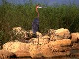 Goliath Heron (Ardea Goliath) at Lake Kariba  Mashonaland West  Zimbabwe