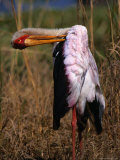 Yellow-Billed Stork  Kruger National Park  Kruger National Park  Mpumalanga  South Africa