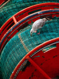 Gull Pecking at Fishing Net at Le Guilvenic  Brittany  France