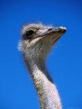 Ostrich (Struthio Camelus)  USA