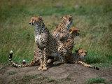 Mother Cheetah (Acinonyx Jubatus) with Cubs  Masai Mara National Reserve  Rift Valley  Kenya