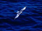 Swallow-Tailed Gull in Flight  South Plaza Island  Islas Plazas  Galapagos  Ecuador