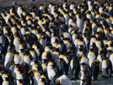 Colony of the King Penguin in St Andrew's Bay  the Largest Penguin Colony in the World  Antarctica