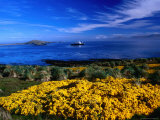 Flowering Gorse  Evergreen Shrub  with a Distant Antartic Cruise Ship Off-Shore  Falkland Islands