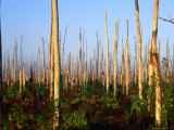 Hurricane Damage to Forest  Everglades National Park  USA