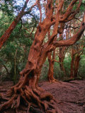Trunks of the Arrayanes Tree in the Parque Nacional Los Arrayanes  Argentina