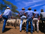 Buyers Watch Intently at Sheep Auction in Rural Victoria  Victoria  Australia