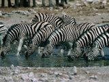 Zebras (Equus Burchellii) Drinking from Waterhole  Etosha National Park  Namibia
