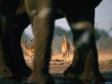 Imapalas Viewed Through an Elephant's Legs  Savuti  Botswana