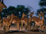 Impala (Aepyceros Melampus) Herd  Savuti  Botswana