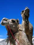 Camels for Hire at Stockton Sand Dunes  Newcastle  New South Wales  Australia
