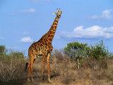 Giraffe Tsavo West National Park  Kenya