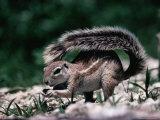 Cape Ground Squirrel (Xerus Inauris)  Etosha National Park  Kunene  Namibia