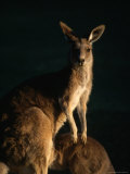 Kangaroo at Night  Anglesea  Australia