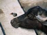 Buffalo with Common Myna (Acridotheres Tristis)  Varanasi  India