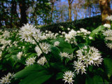 Ramsons (Wild Garlic) at Stackpole Estate in May  Pembrokeshire Coast National Park  United Kingdom