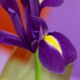 Iris Flower Against Red & Purple Background