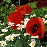 """Oriental Poppy """"Marcus Perry"""" and Marguerite"""