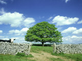 Oak Tree  with Cow & Dry Stone Wall Near Litton  Peak District National Park  UK