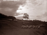 A Shepherd Surveys His Flock at the End of the Day  1935