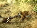 Bengal Tiger  Males Killing Sambar  India