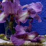 "Bearded Iris ""Blue Shimmer "" Purple and White Flowers in Glass Vase Against Blue Backdrop"