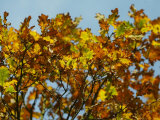 Branches of an Oak Tree with Its Leaves Turning Golden at Kenilworth Castle in Warwickshire
