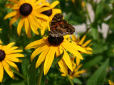 A Butterfly Lands on a Black-Eyed Susan Flower