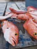 Goldeneye Fish  Caye Caulker  Belize