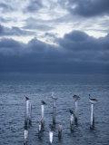 Pelicans  Caye Caulker  Belize
