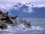Stellar Sea Lions  Glacier Bay  Alaska  USA