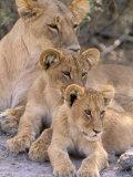 Lioness and Cubs  Okavango Delta  Botswana
