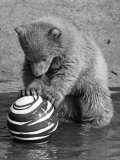 Pipaluk with Sally  His Mum  Playing with a Ball at London Zoo Today March 1968
