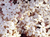 Jasmine Flowers Bloom in Springtime at Sunset