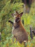 Bennetts Wallaby Feeding on Vegetation in a Re-Vegetation Program