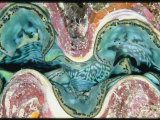 Close View of the Mantle of a Giant Clam
