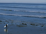 Longboard Surfer Watches the Surf Break on an Isla Vista Beach