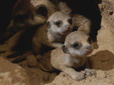 Just Waking Up  Two Meerkat Pups Crawl Away From Their Nest Into the Sunlight