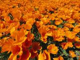 California Poppies in Field