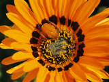South African Monkey Beetle Burrows Deep Into a Gazania Flower