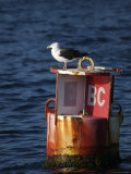 Great Black-Backed Gull on a Navigational Bouy in Gloucester Harbor