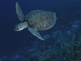An Endangered Green Sea Turtle Swimming Over a Reef