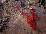 Virginia Creeper in Bright Fall Red Colors Growing on a Boulder