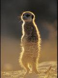 Back-Lit Portrait of a Meerkat in Guarding Posture
