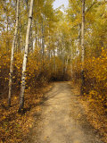 Birch Tree-Lined Trail in Hecla  Grindstone Provincial Park