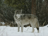 Gray Wolf  Canis Lupus  in a Snow Shower