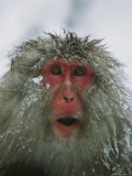 Japanese Macaque  or Snow Monkey  with Ice Tipped Fur