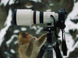 Curious Japanese Macaque  or Snow Monkey  Examines a Camera